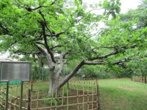 小石川植物園「ニュートンのりんご」