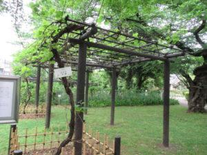 小石川植物園「メンデルのぶどう」
